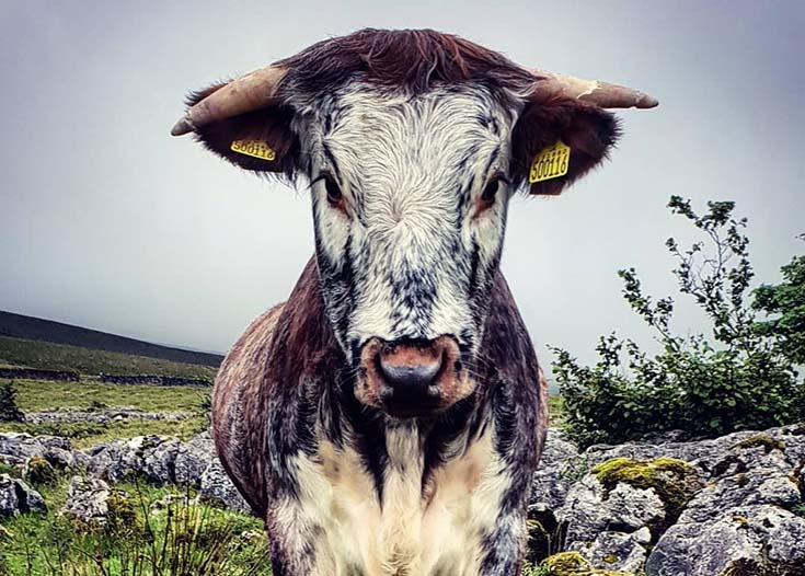 black and white bull looking directly at camera